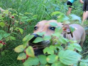 Raspberries!