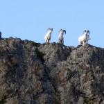 5/22/2014 - Sheep Thrills