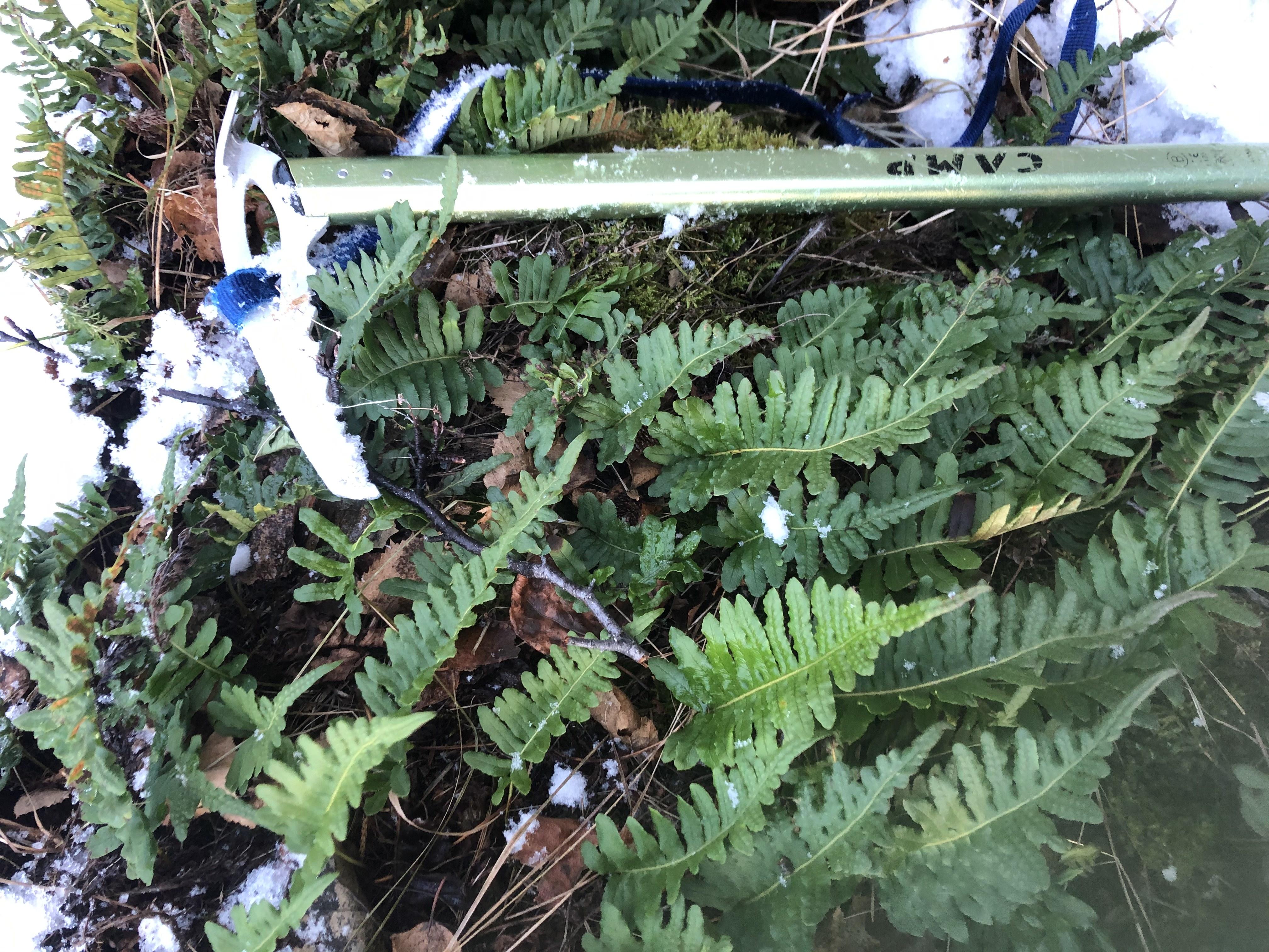 RLD photo of the licorice fern population on January 13, 2021.